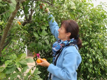 Diane enjoying an opportunity to pick some fresh oranges, clementines, lemons and grapefruit