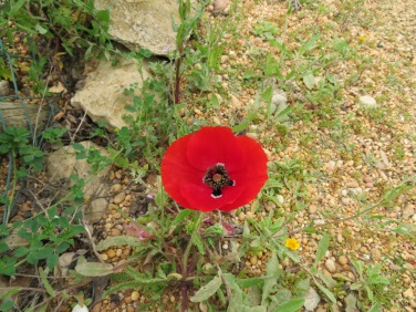 And my second arrival....our first poppy of the season.....thought of you PM!