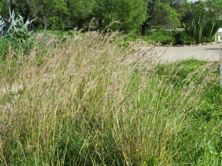 These tall grasses are quickly taking over many of the open fields. They are about three feet tall and are beautiful.