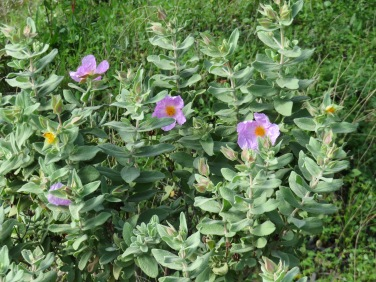 The cistus are covering the slopes of the mountain trails.