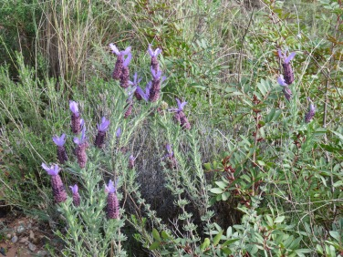 Wild lavender is starting to sprout all over the place