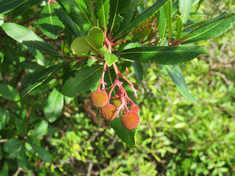 A medronho tree is starting to bear fruit.