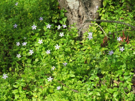 Periwinkle is taking over the forest floor.