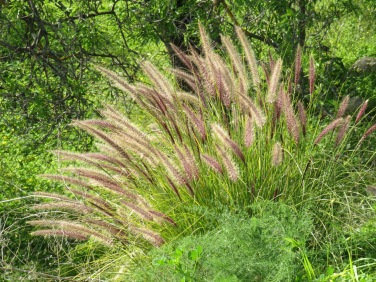I adore grasses of almost any kind but these in particular are beautiful.