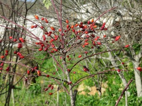 A piri piri bush. No leaves yet, only fruit.