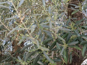 More olive blossoms.