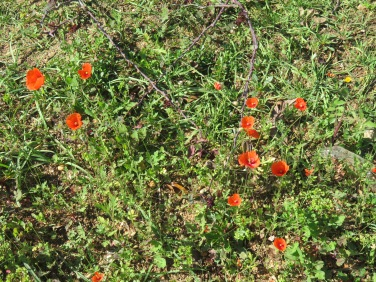 These poppies are dainty and tiny. Dancing away despite the lack of breeze.