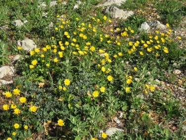 I'm calling these yellow daisies........they were so vibrant against the stark rocks of the mountainside.