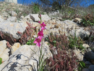 One of my happy moments today was when I finally spotted this lovely wild gladioli