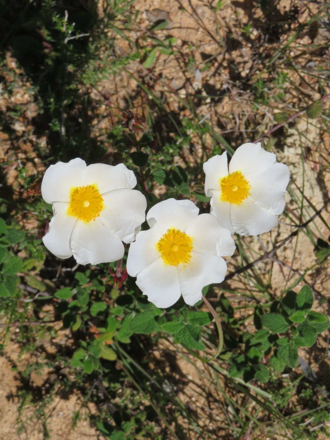 And these glorious white cistus............delicate looking but clearly a hardy plant.