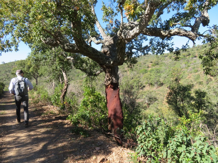 A majestic cork tree. The countryside was scattered with them.