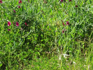 This is a lathyrus clymenum.......almost tiny orchid shapes.