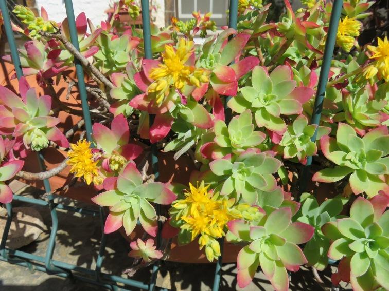 A flowering succulent near the church steps