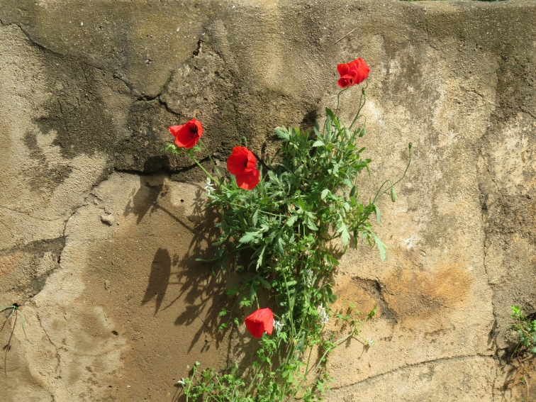 This gorgeous cluster of poppies is literally growing out of a tiny crack in the wall.