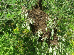 This is a massive swarm of bees that had accumulated in one of the olive trees near our gates. No idea why, there were literally hundreds of them. Not a sign of them this morning!