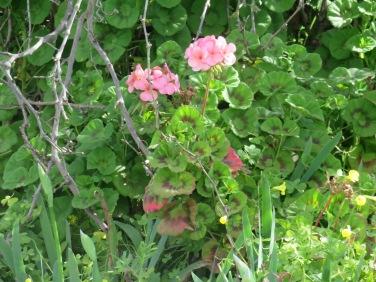 This lovely pink geranium was growing at the base of an old orange tree.