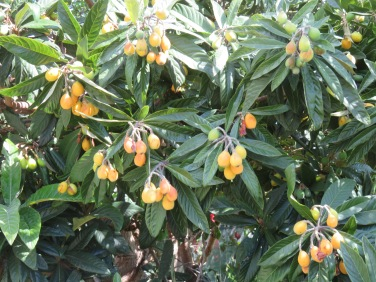 The neshpera, or loquats are ready to be picked. We'll cook up a batch when we get to the farm next week ,