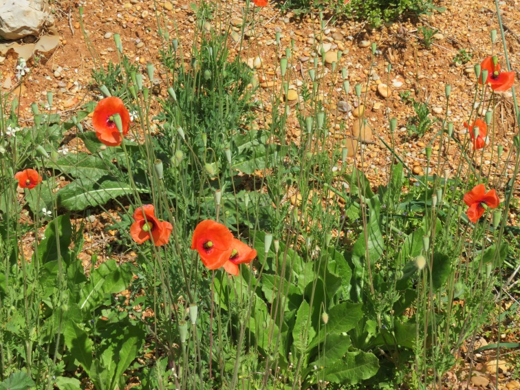 Orange poppies are finally started to show up everywhere.