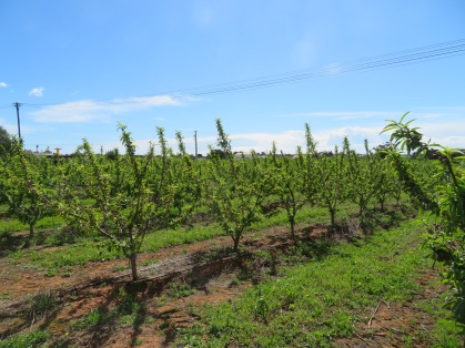 Part of a huge plum orchard.