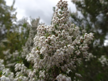 These lovely white blossoms adorned many of the trees along the path.