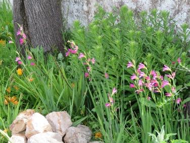 Many beds of wild gladioli.