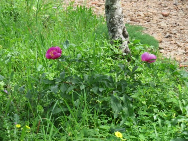 We came upon several beds of wild peonies, which made me do a happy dance. I've been watching for them for the last three winters.