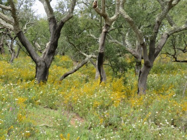 The cork trees and broom, rolling down the side of the mountains.