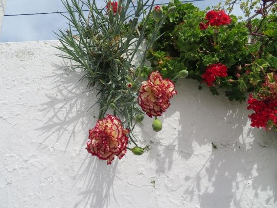BEautiful carnations.