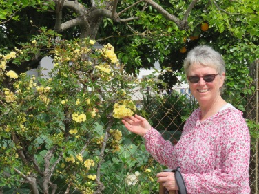 Patricia and a wall of rock roses.....tiny yellow buds brightening up the garden,
