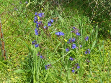 This vibrant blue was quite beautiful against the green of the grasses.