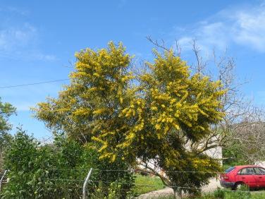 A mimonsa tree