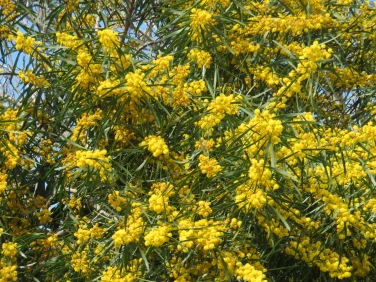Close-up of the mimosa