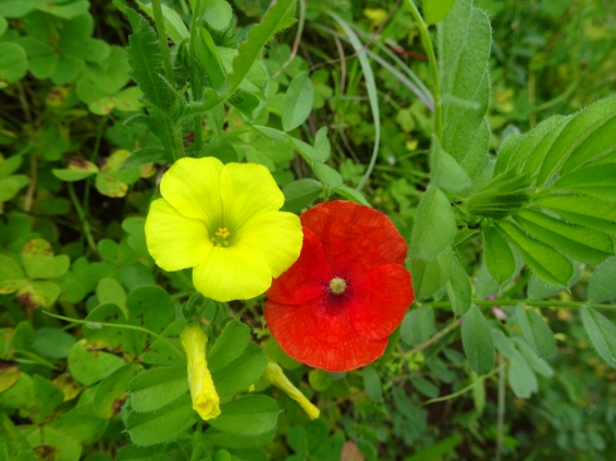 A bermuda buttercup and a poppy dancing together.