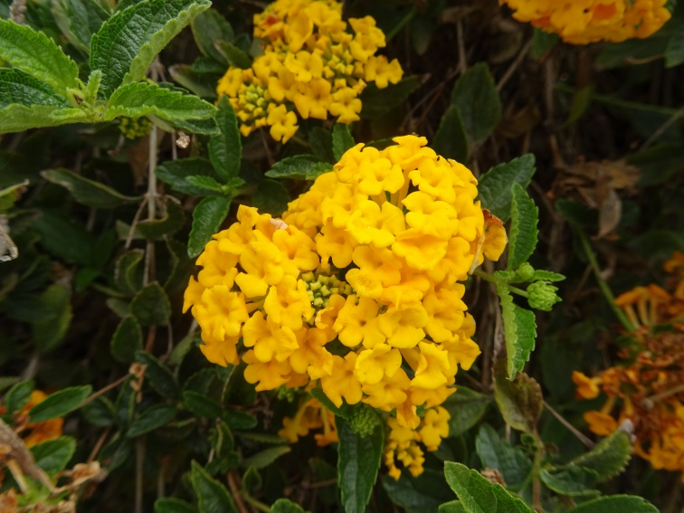Bright yellow lantana.