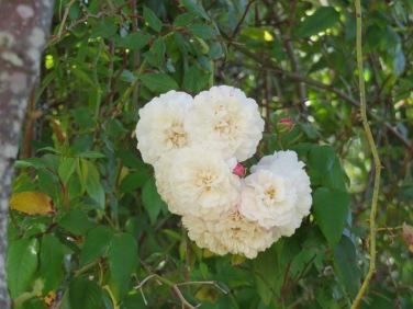 A beautiful rock rose vine is climbing into the jacaranda tree.
