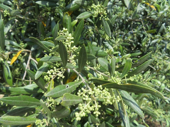 There will be a bumper crop of olives this year.