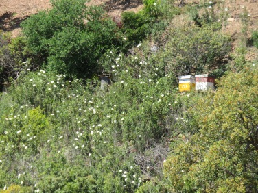 Bee hives tucked away in the cistus