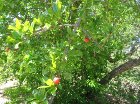 And finally, the pomegranates are starting to flower