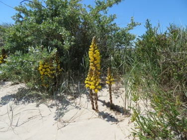 "I love these ""weeds"" that grow all along the sandy beach."