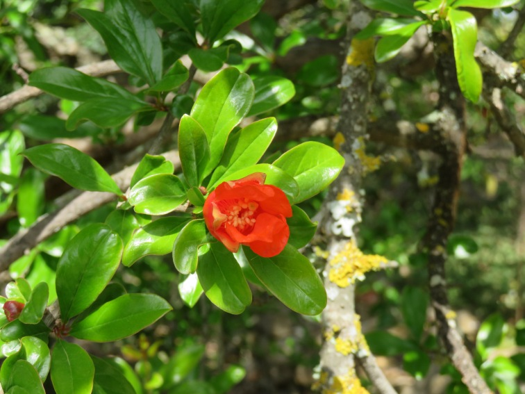 Pomegranate flowers opening.