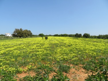 Fields of bermuda buttercups continue to pop up in abundance.