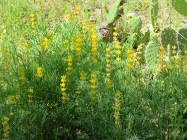 A forest floor peppered with yellow lupins