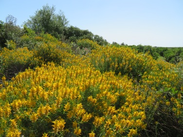The broom is bursting out all throughout the mountains and countryside.