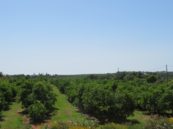 One of the views of a well organized orchard in the distance.