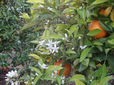 Oranges and orange blossoms, we are currently living on a very large organic citrus farm
