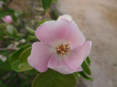 A quince flower