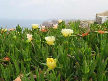 These lovely succulents are in bloom all along the cliff walls.