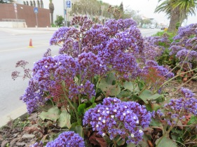 Huge clusters of this purple plant line the promenade.