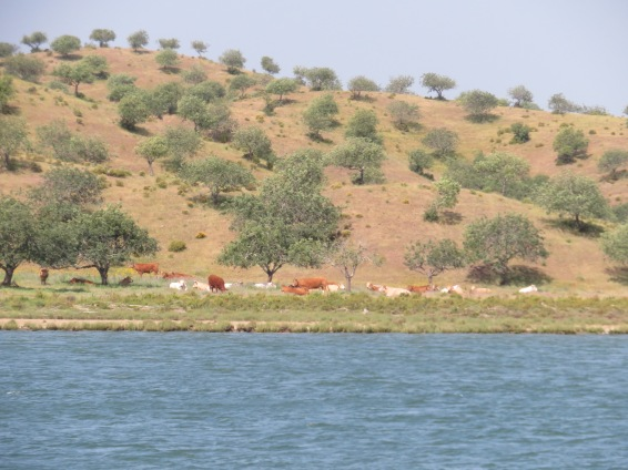 Cattle grazing near the river bank