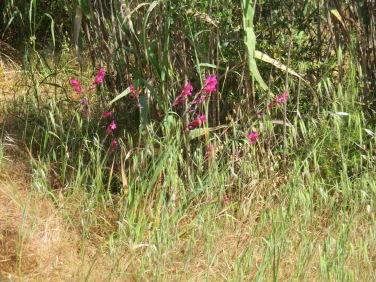 Wild gladioli lining the pathway